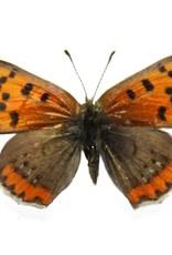Lycaena phlaeas arethusa M A1 Canada
