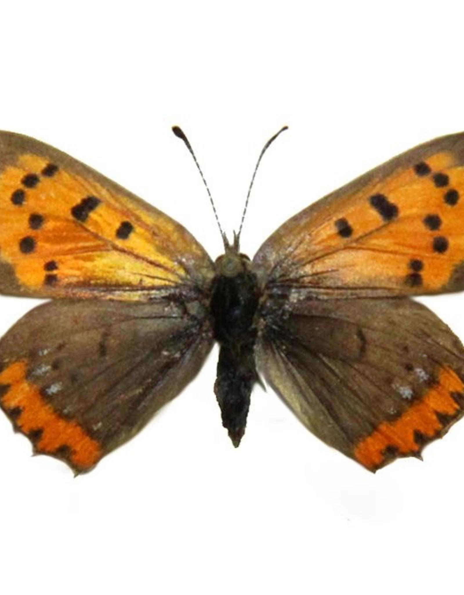 Lycaena phlaeas arethusa F A1 Canada