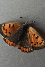 Lycaena phlaeas arethusa PAIR A1 Canada