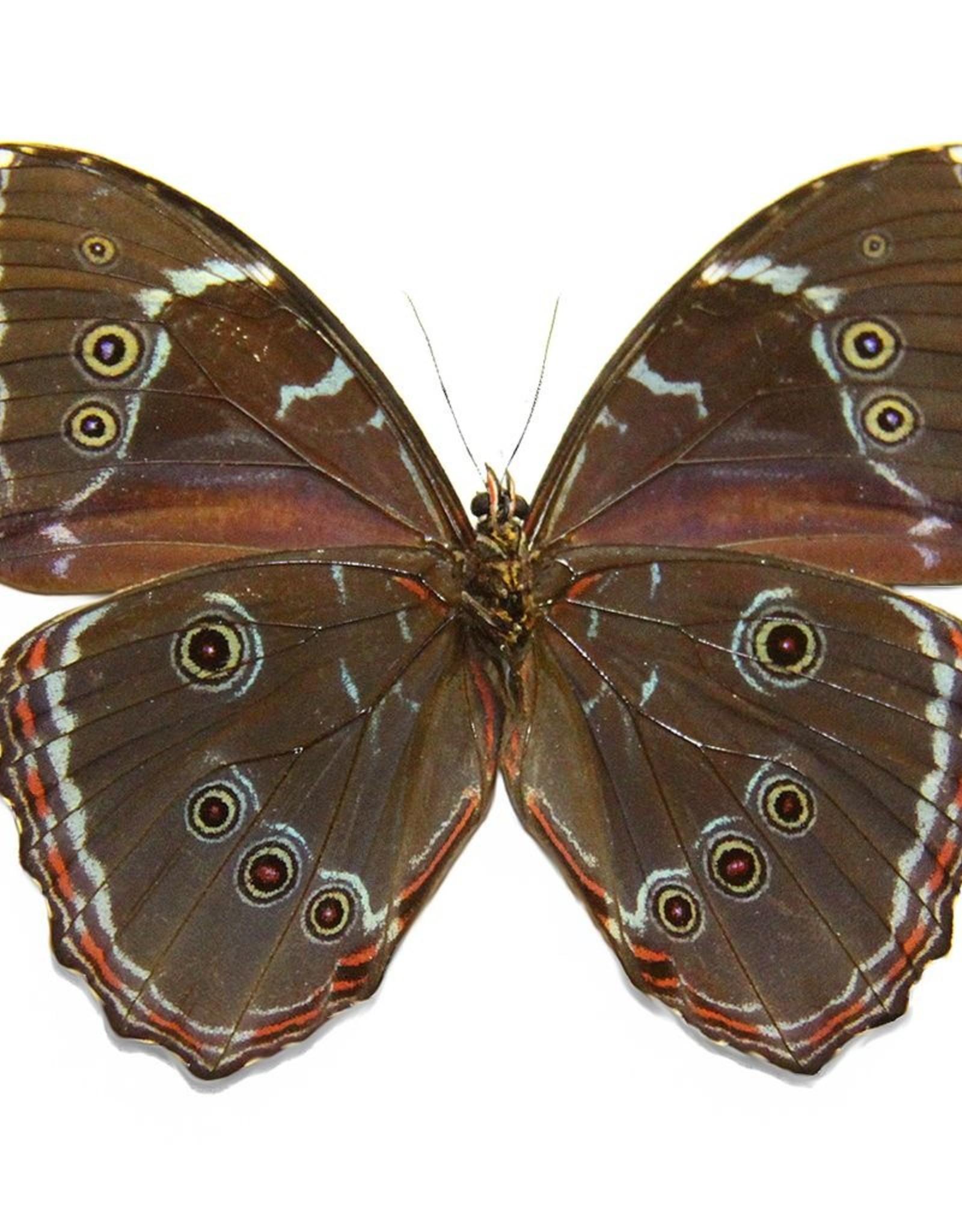 Morpho achilles fagardii (=M. patroclus orestes) M A1 Peru