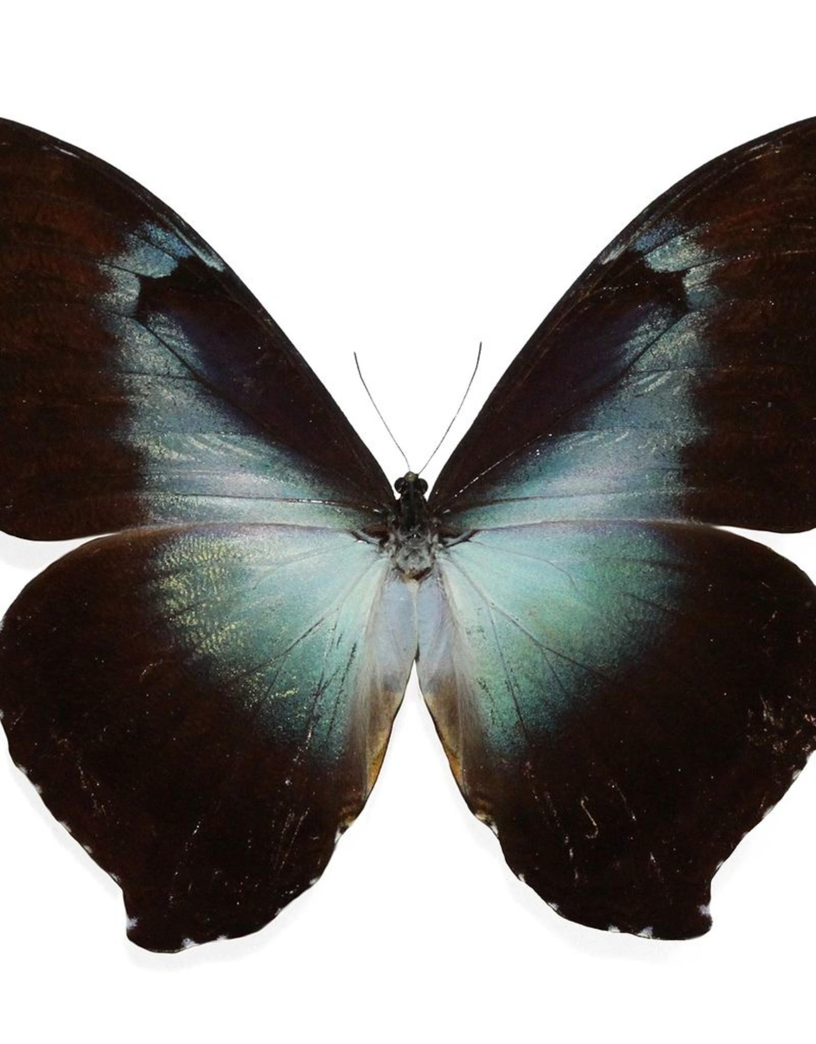 Morpho cisseis gahua/phadena blue/orange Mix M A1 Peru