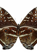 Morpho cisseis gahua - blue form M A1 Peru