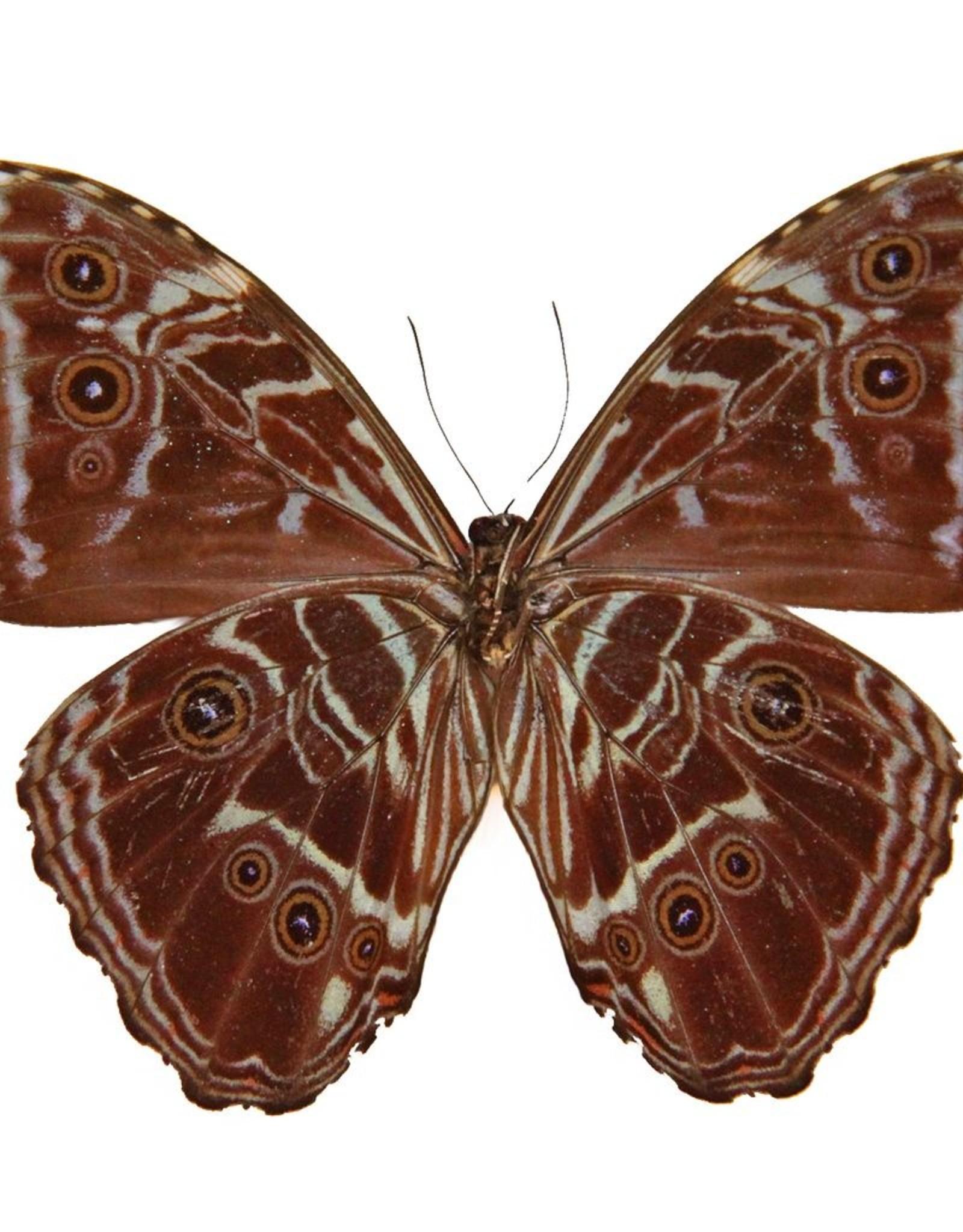 Morpho deidamia deidamia M A1 Guyana