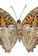 Doxocopa cherubina M A1 Bolivia