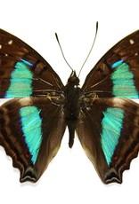 Doxocopa cherubina M A1 Peru