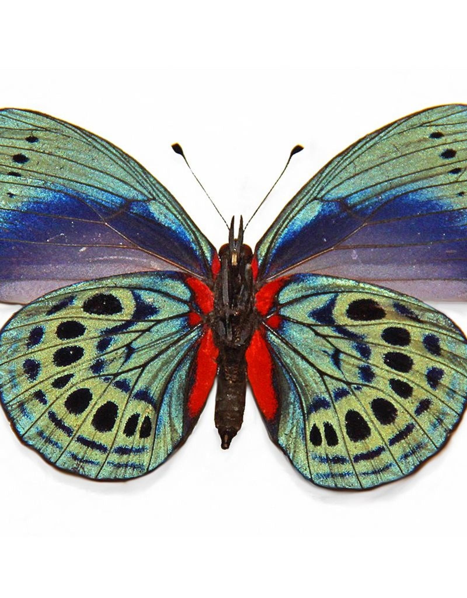 Asterope leprieuri philotina ( = A. optima philotina) M A1 Peru