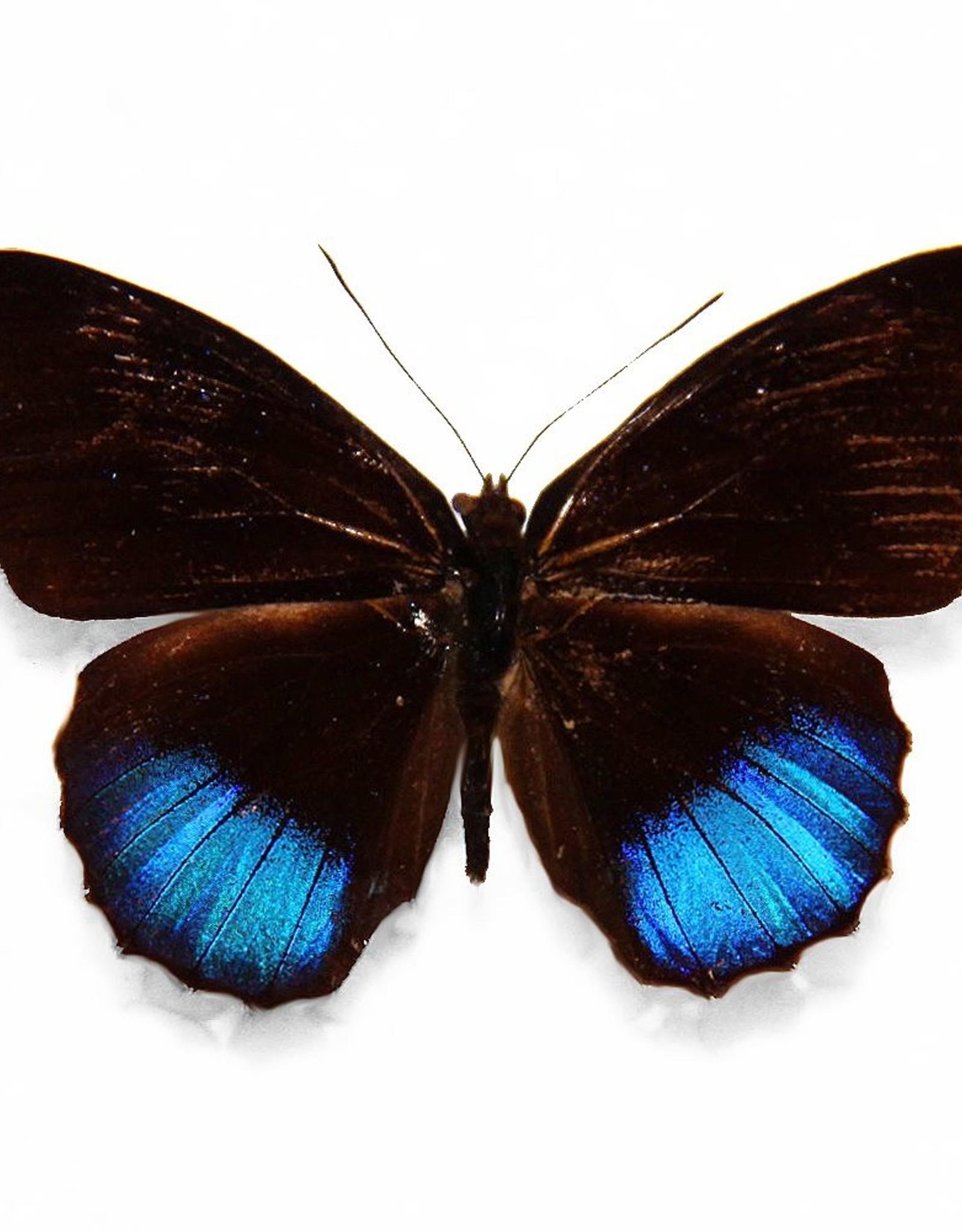 Eunica norica M A1 Peru
