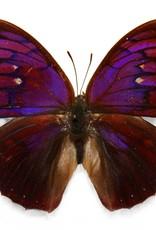 Anaea tyrianthina F A1 Peru