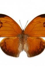 Anaea archidona F A1 Peru