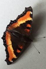 Roddia (Nymphalis) milberti furcillata PAIR A1 Canada