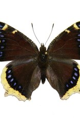 Nymphalis antiopa hyperborea M A1- Canada