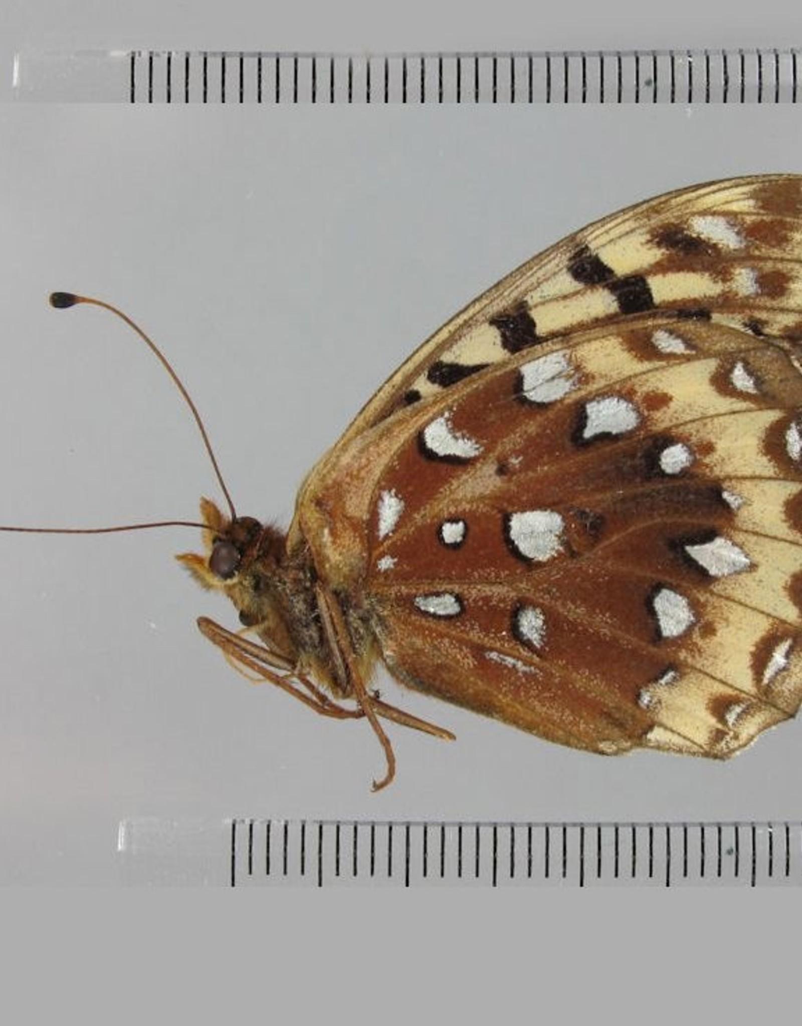 Speyeria cybele leto M A1 Canada