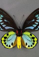 Ornithoptera priamus urvillianus f. flavomaculata M A1/A1- PNG