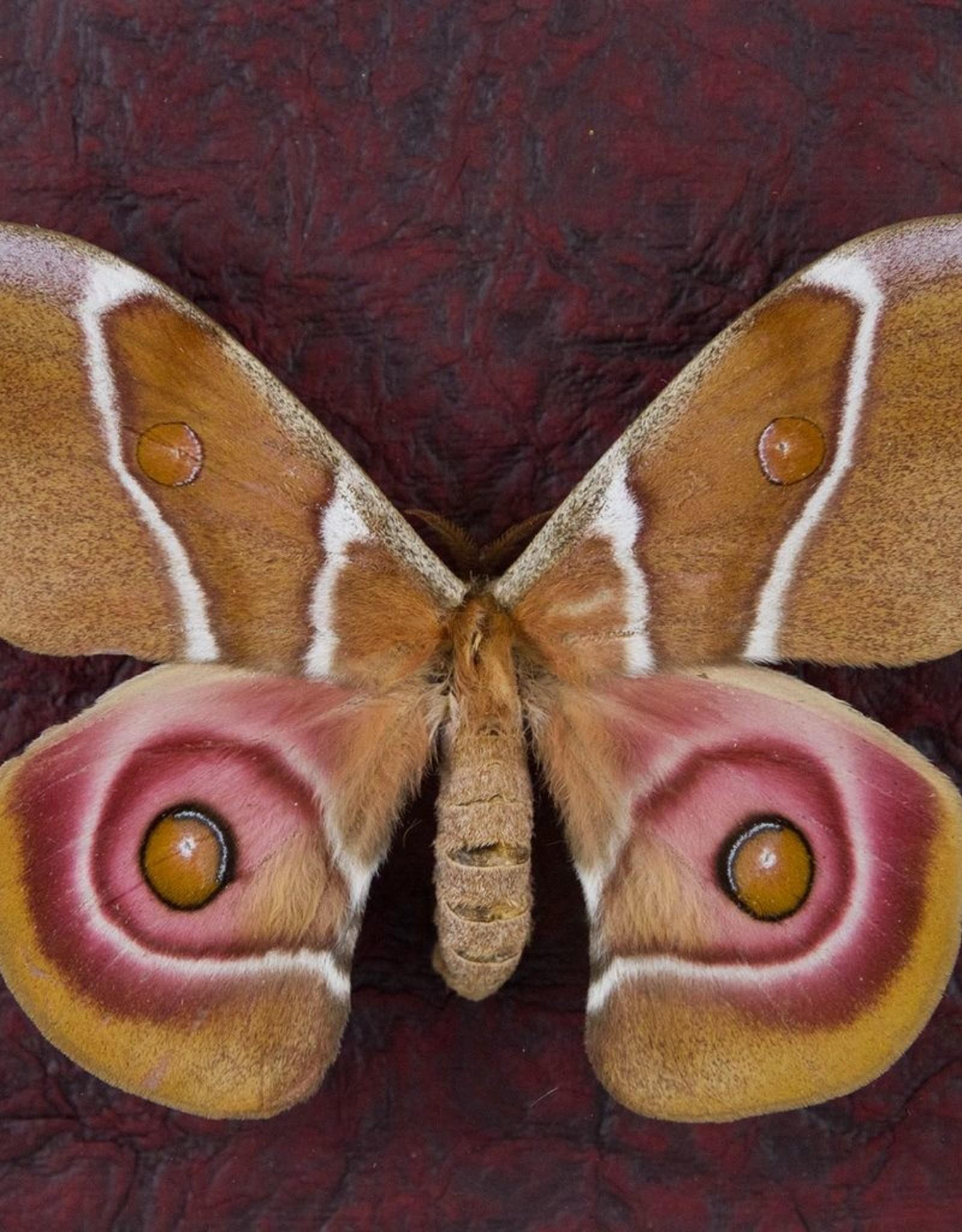 Antheraea suraka F A1 Madagascar