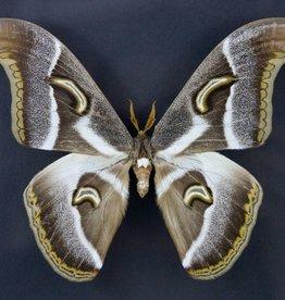 Epiphora rectifasciata M A1 Cameroon