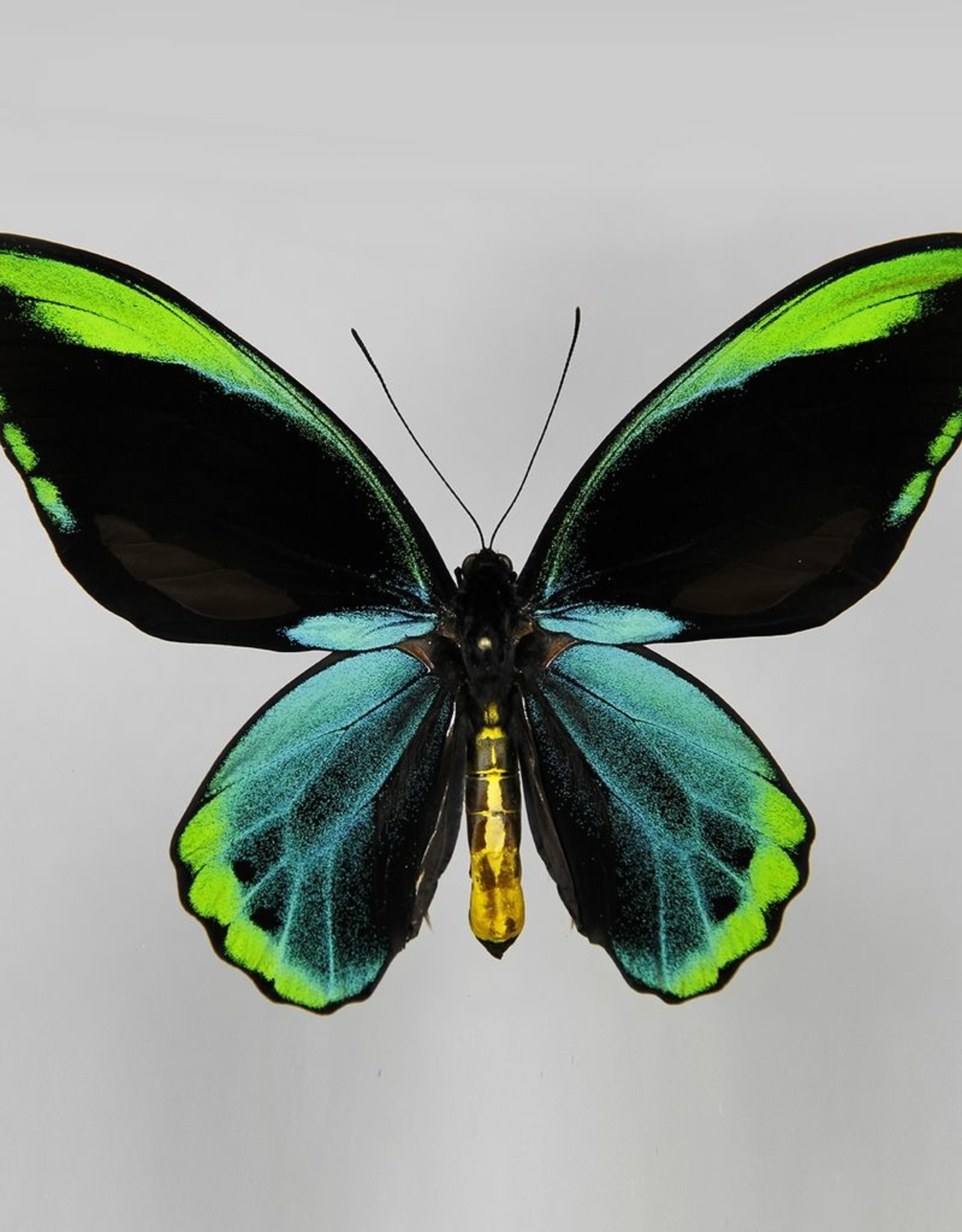Ornithoptera allotei PAIR A1/A1- Indonesia