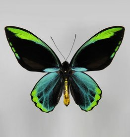 Ornithoptera allotei PAIR A1/A1- Indonesia