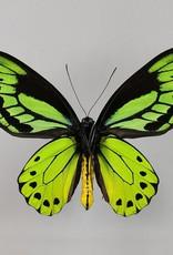 Ornithoptera allotei PAIR A1 Indonesia