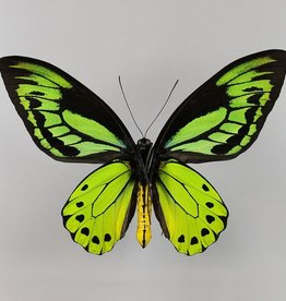 Ornithoptera allotei PAIR A1 Indonesia