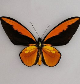 Ornithoptera croesus lydius M A1 Indonesia