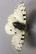 Parnassius phoebus smintheus M A1- Canada