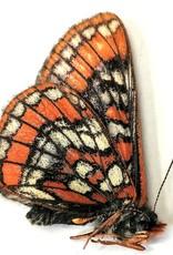 Euphydrias gilletti M A1 Canada