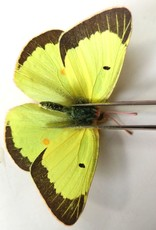 Colias philodice eriphyle M A1/A1- Canada