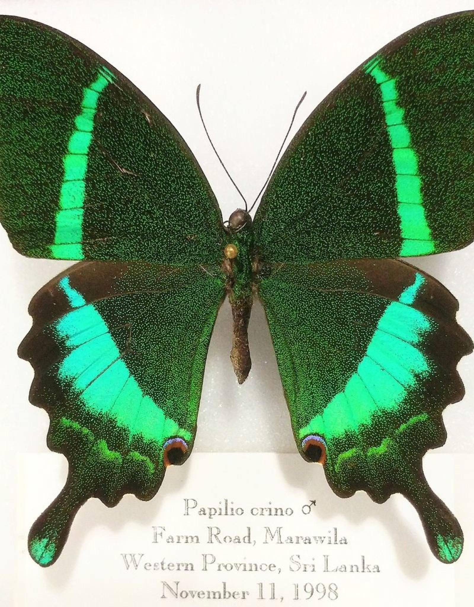 Papilio crino M A1- Sri Lanka