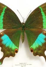 Papilio crino F A1- Sri Lanka