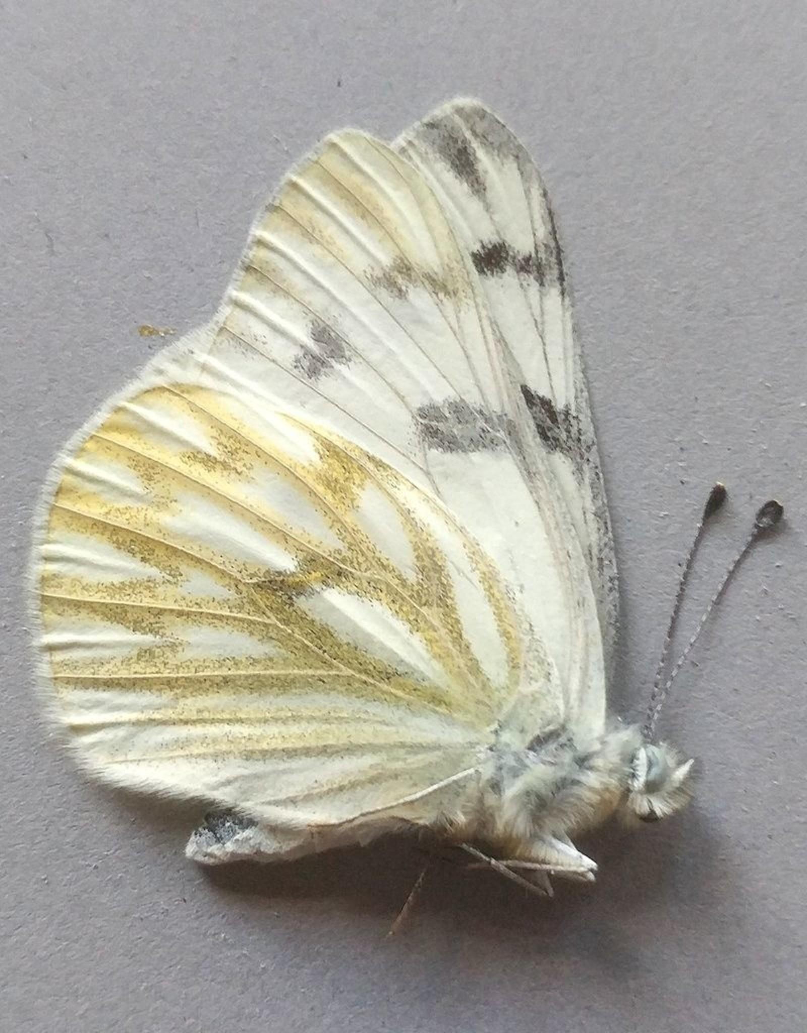 Pontia occidentalis occidentalis M A1 Canada