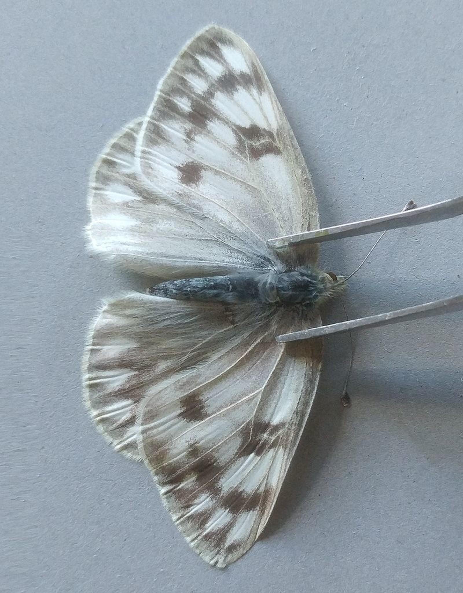 Pontia occidentalis occidentalis PAIR A1 Canada
