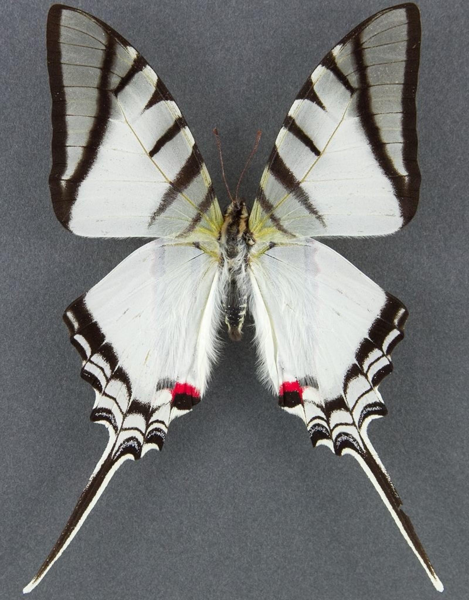 Eurytides (Protographium) protesilaus nigricornis M A1 Peru