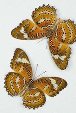 Cethosia biblis phanaroia M A1 Philippines