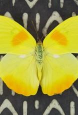 Phoebus philea M A1 Bolivia