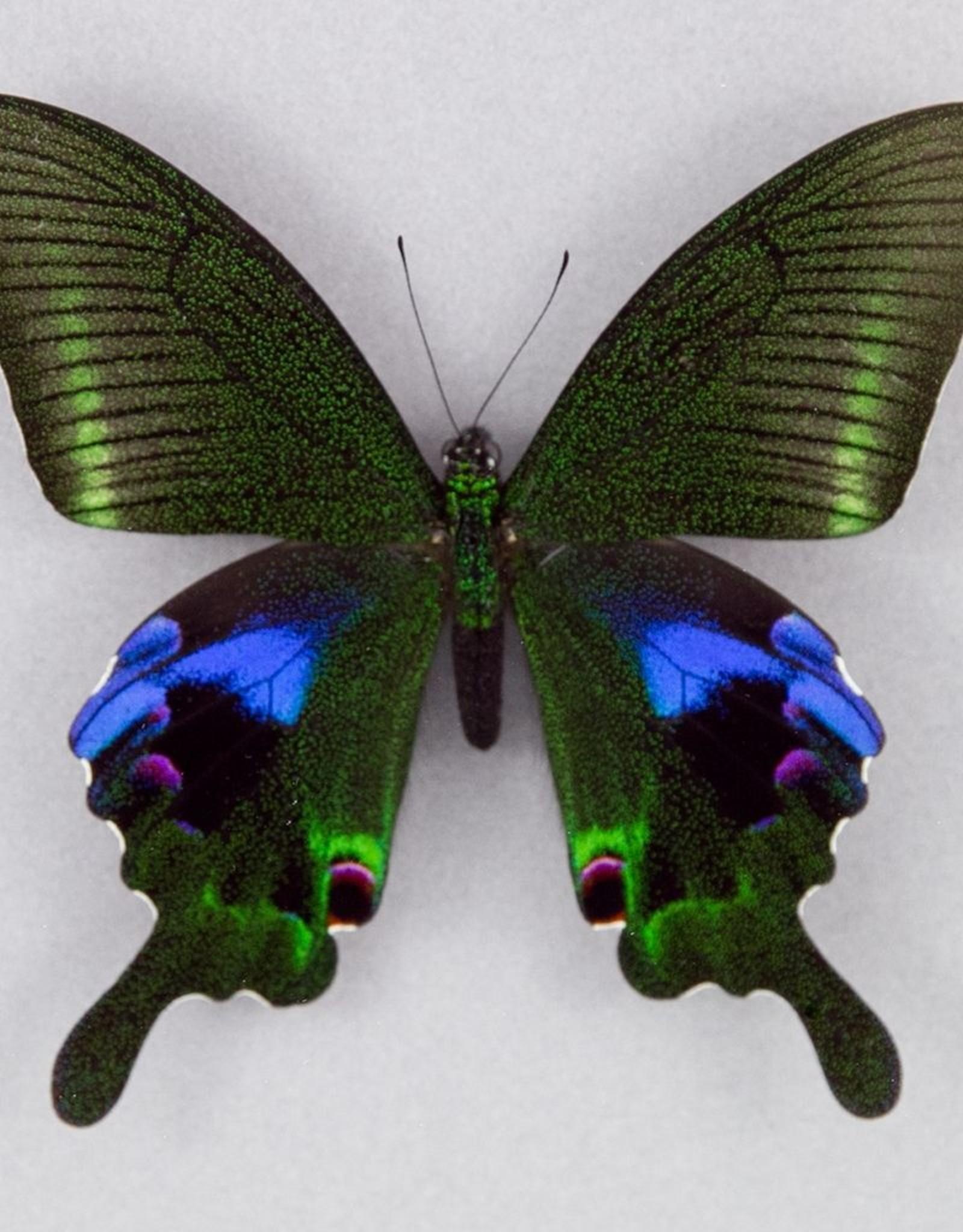 Papilio arcturus arcturus M A1 China