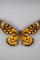 Papilio antimachus M A1 CAR