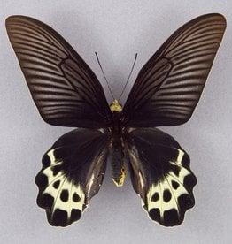 Atrophaneura priapus priapus M A1 Indonesia