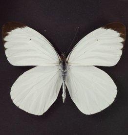 Ascia bunia M A1 Peru