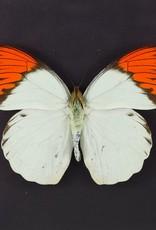 Hebomoia glaucippe aturia M A1 Thailand
