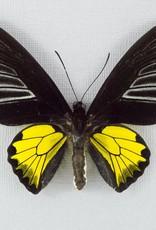 Troides rhadamantus M A1 Philippines
