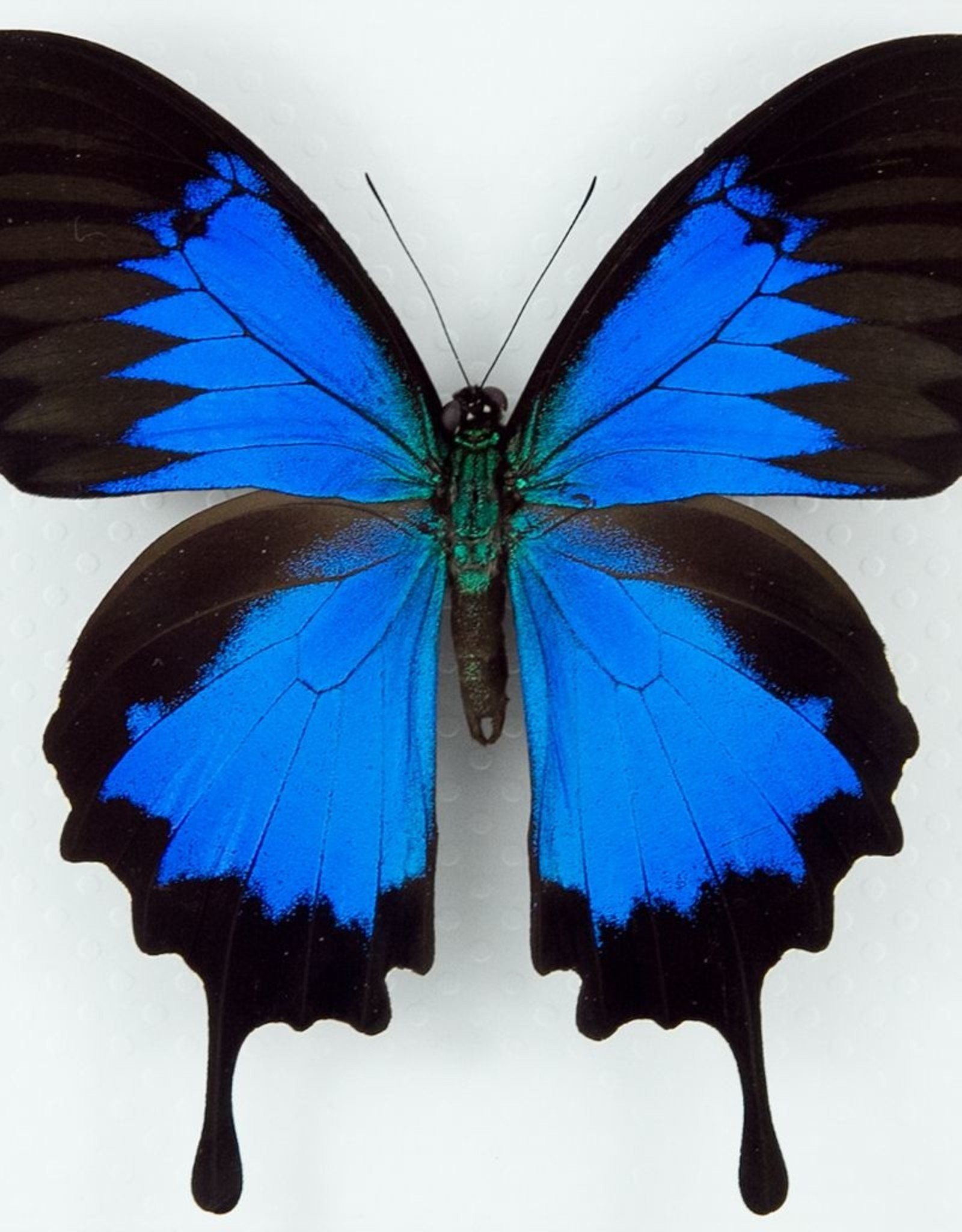 Papilio ulysses ulysses M A1 Indonesia