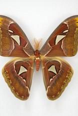 Attacus atlas PAIR A1 Indonesia