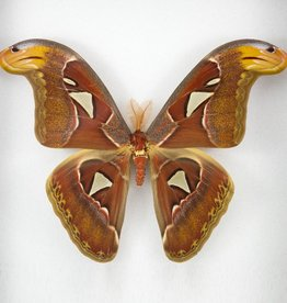 Attacus atlas PAIR A1 Indonesia
