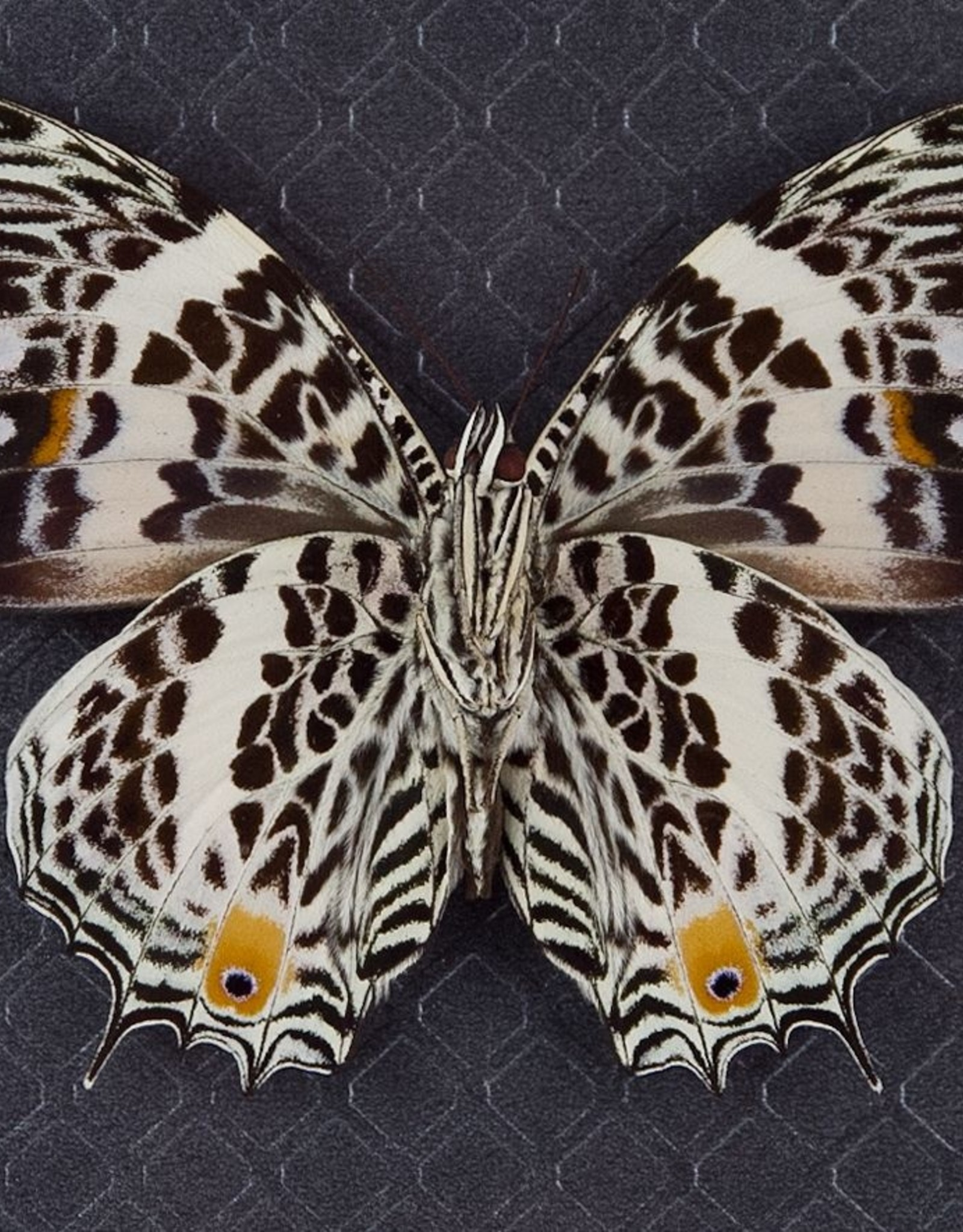 Baeotus (Megistanis) amazonicus M A1 Peru