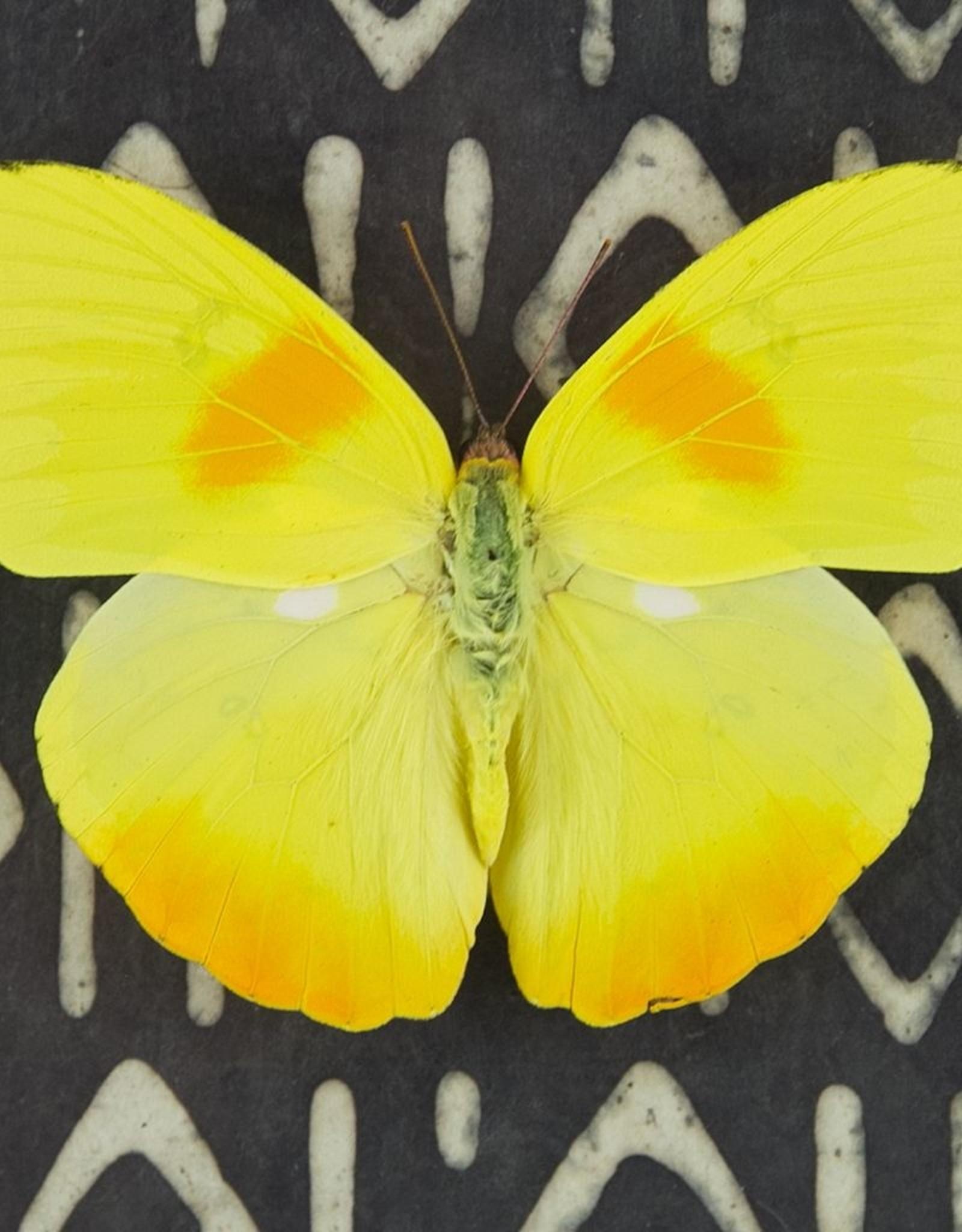 Phoebus philea M A1 Peru