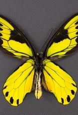 Ornithoptera victoriae regis M A1 PNG