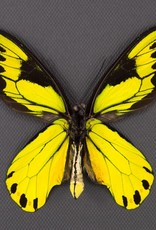 Ornithoptera victoriae regis M A1- PNG