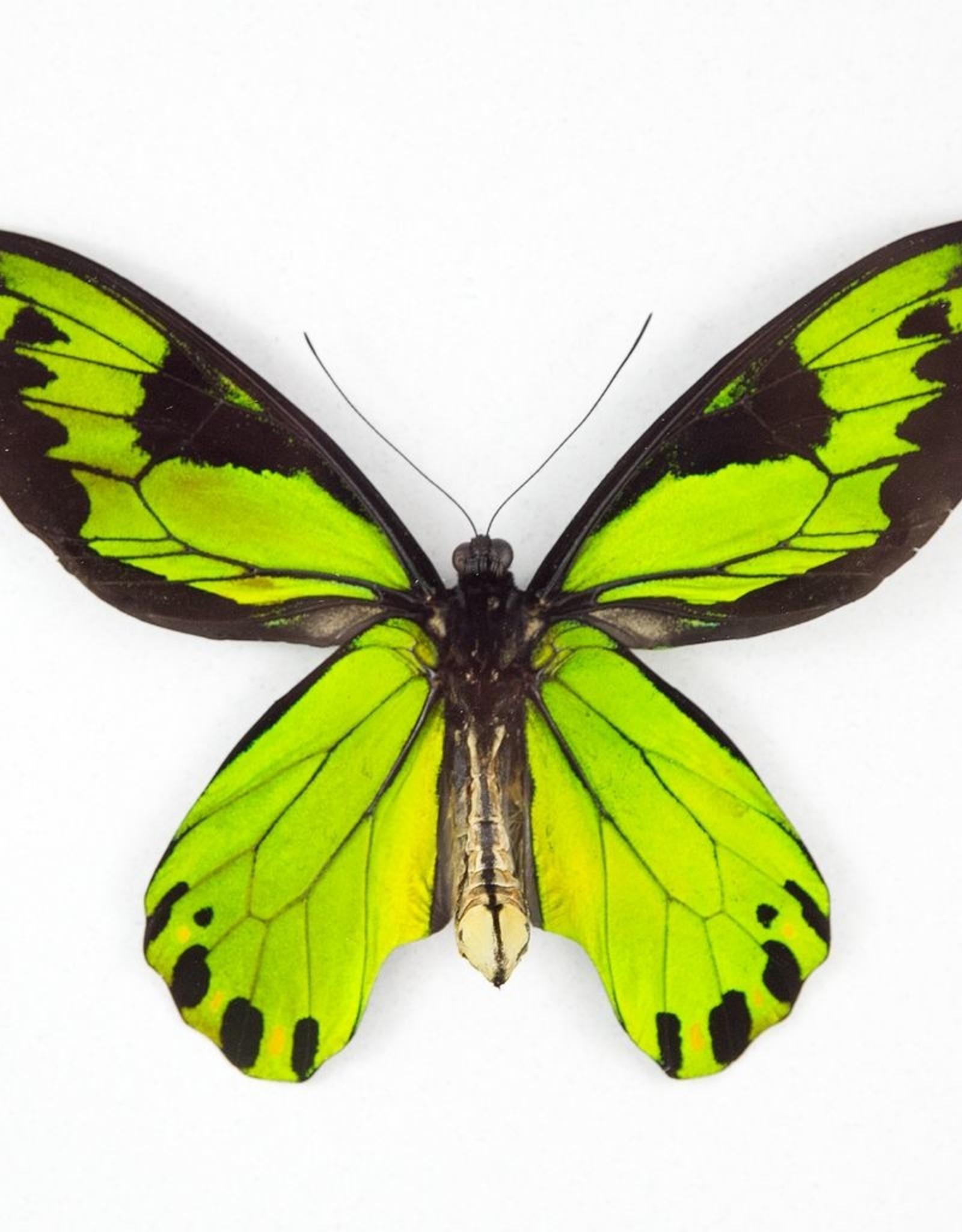 Ornithoptera victoriae regis M A1/A1- PNG