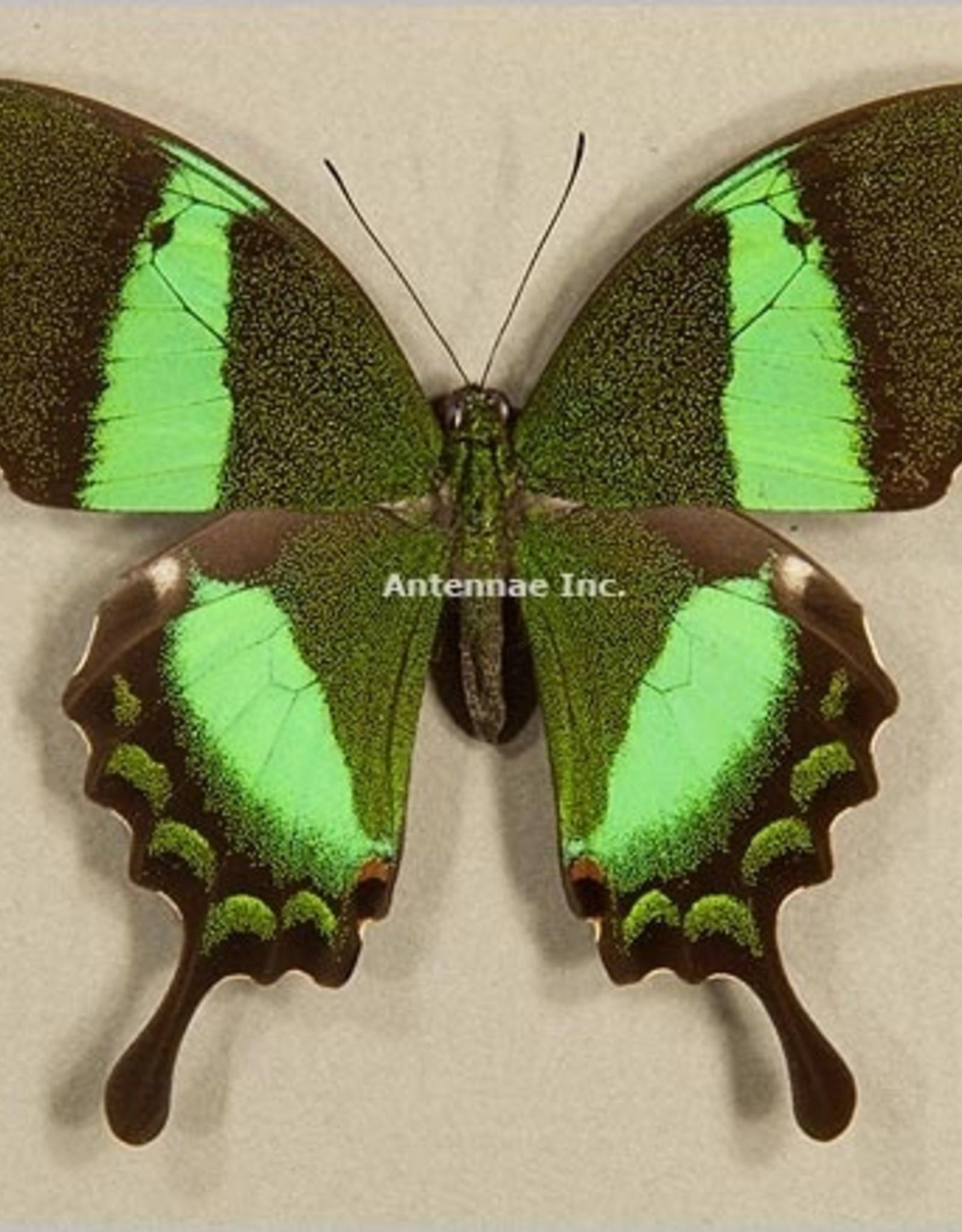 Papilio daedalus ssp? M A1 Philippines