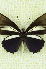 Battus crassus crassus M A1 UHV, Peru